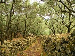 Olive Grove Corfu